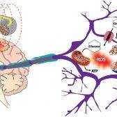 פגיעת קרינה אלקטרומגנטית בתאי הגוף - ממצאי מחקרים